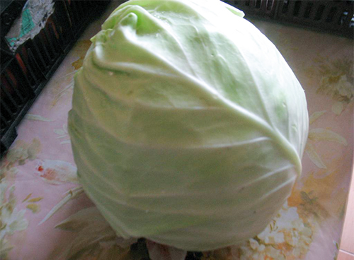 Кочан раннеспелой капусты Июньская