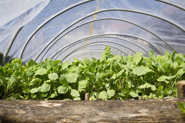 Закаливание рассады капусты в парнике
