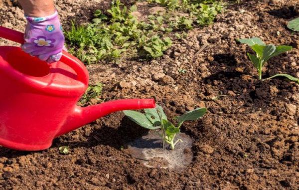 Полив молодой капусты из лейки