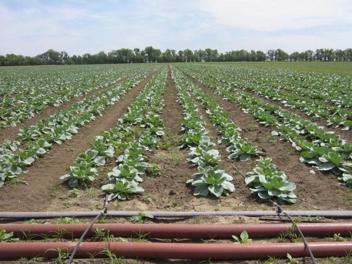 Система капельного орошения для капусты
