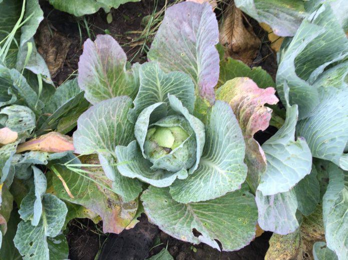 Проявления дефицита фосфора у белокочанной капусты