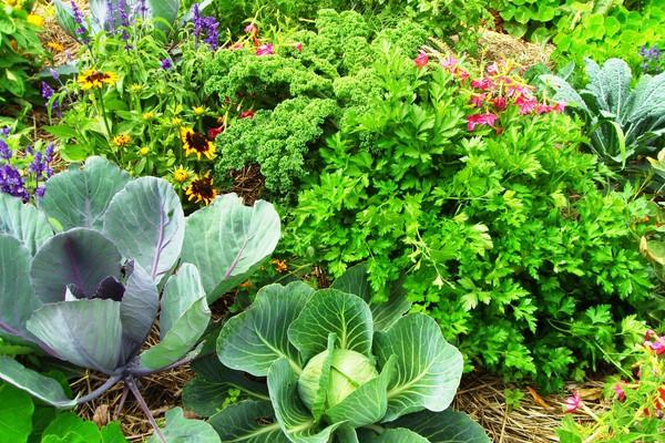 Пряно-овощная клумба