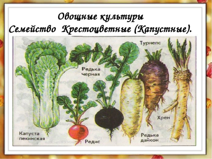 семейство капустные
