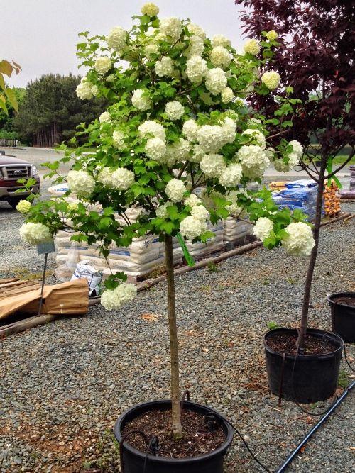 Готовое штамбовое дерево