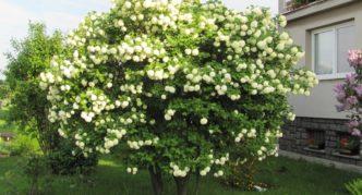 Куст цветущей калины Буль-де-Неж
