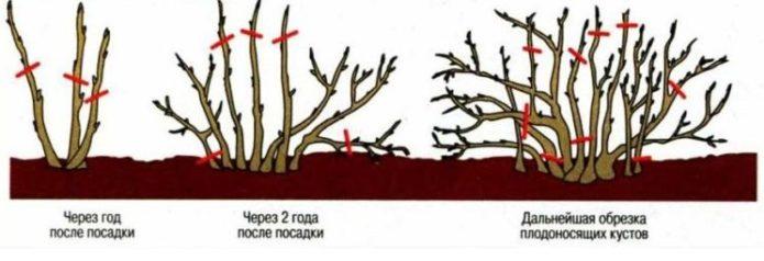 Схема обрезки куста калины по годам