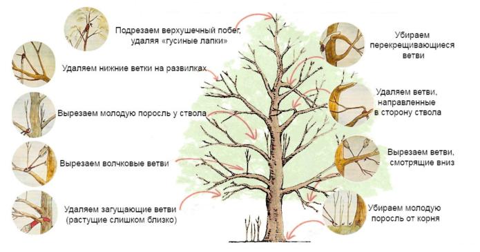 Формирующая обрезка штамбового дерева