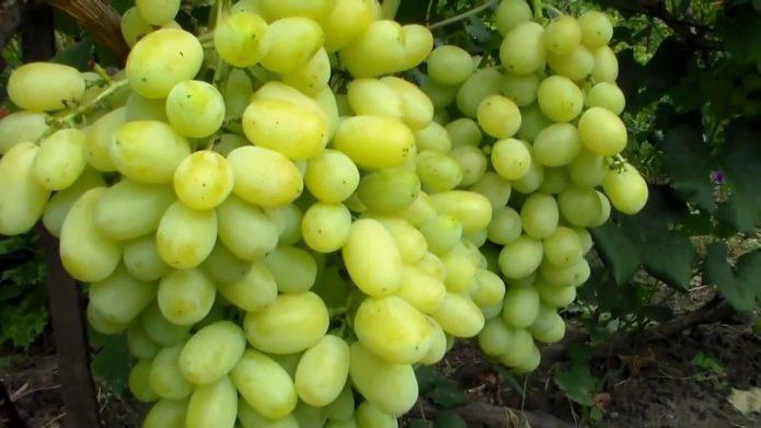 Кисть винограда сорта Лора