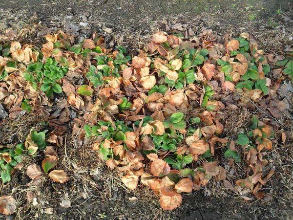 Сухие листья клубники весной