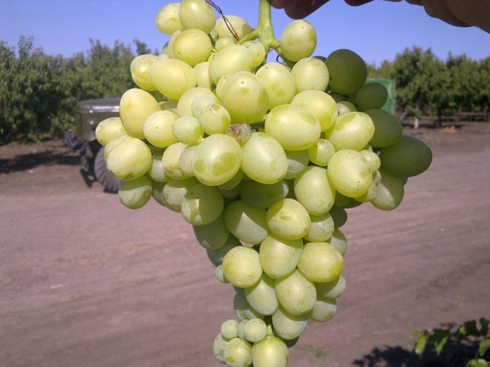 Виноград сорта Аркадия