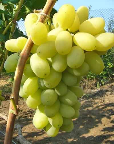 Ягоды винограда сорта Лора