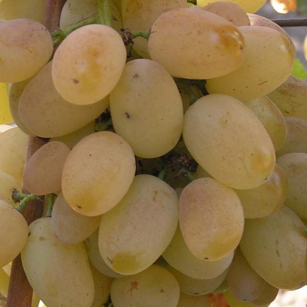 «Загар» на ягодах винограда Лора