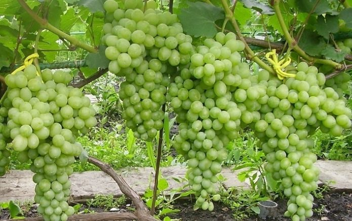 Урожай винограда Лора
