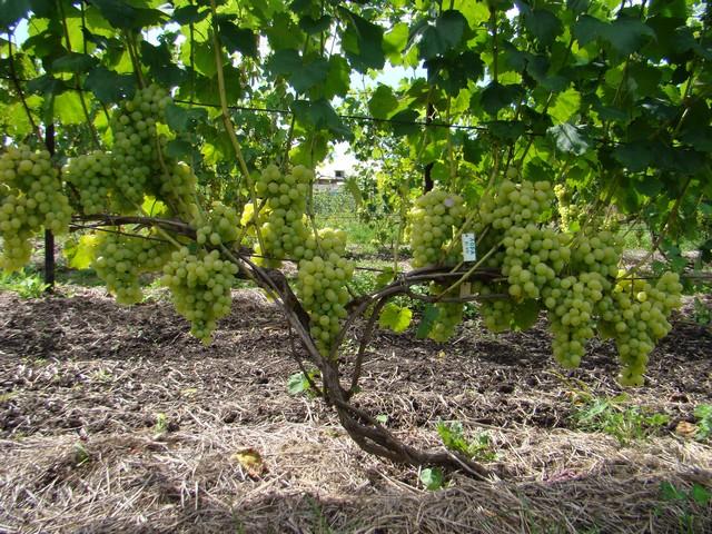 Лоза винограда сорта Лора