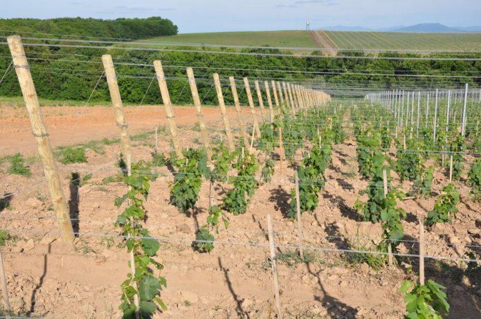 Подходящее место для выращивания винограда