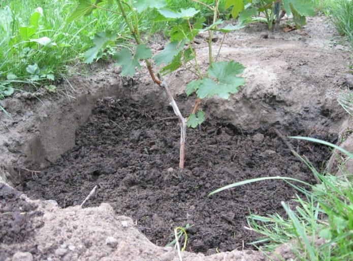 Высадка винограда в грунт