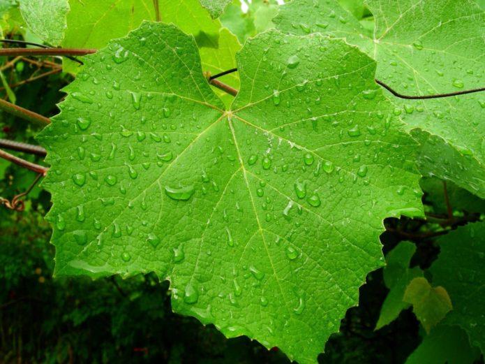 Капли воды на листьях винограда