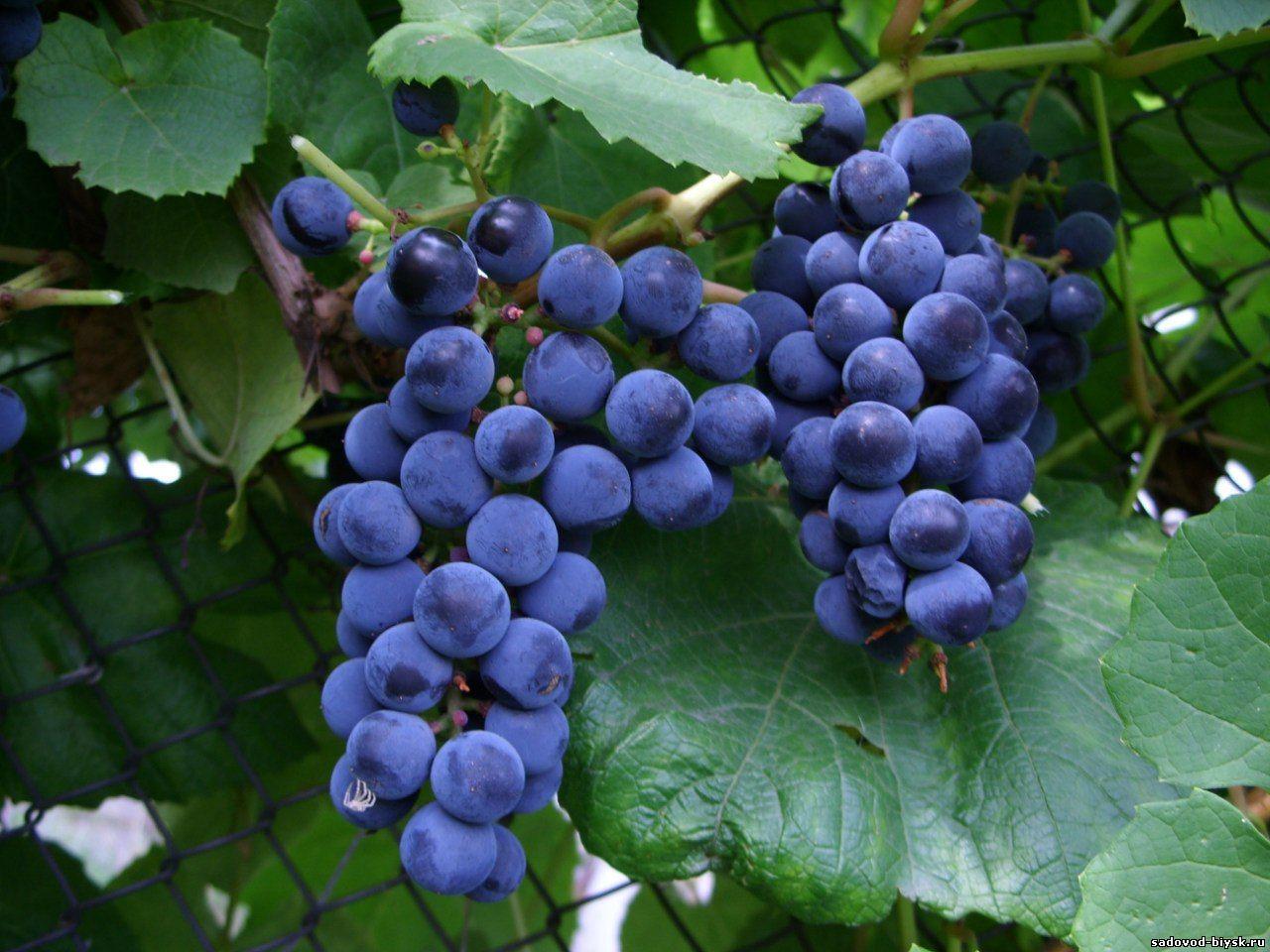 Черныш– неприхотливый и высокоурожайный сорт винограда