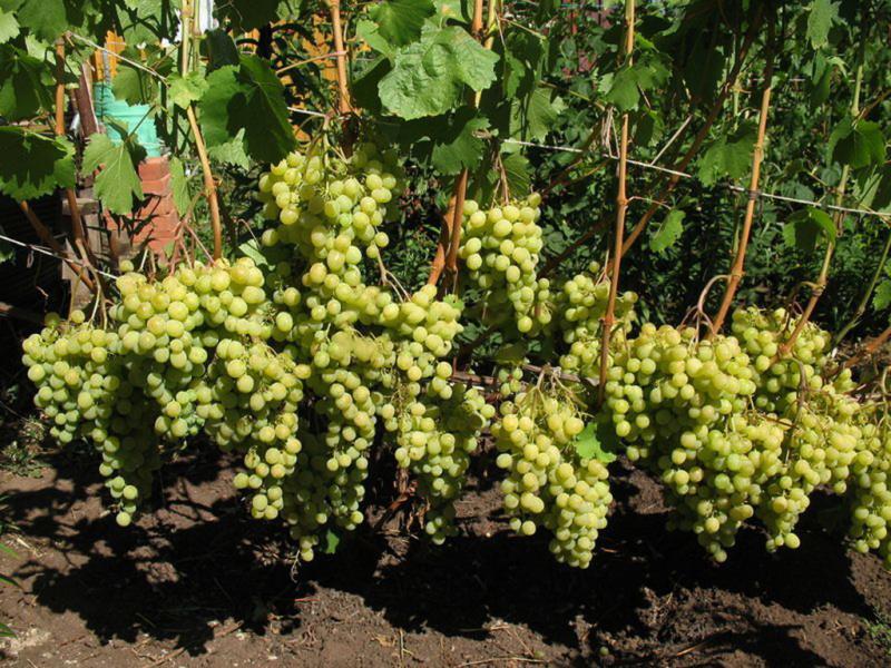 Выращивание винограда в теплице в подмосковье