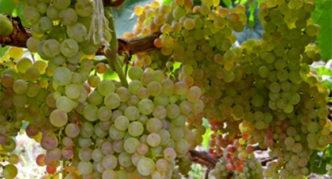 Сорт винограда Коринка русская