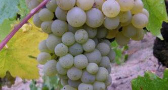 Сорт винограда Московский устойчивый