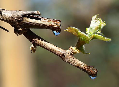 Весенний плач виноградной лозы