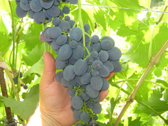 Кисть винограда сорта Кодрянка с признаками горошения