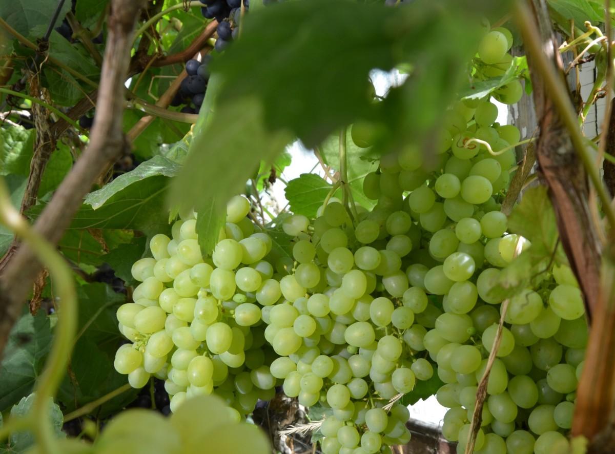 Виноград Алешенькин - описание и фото сорта