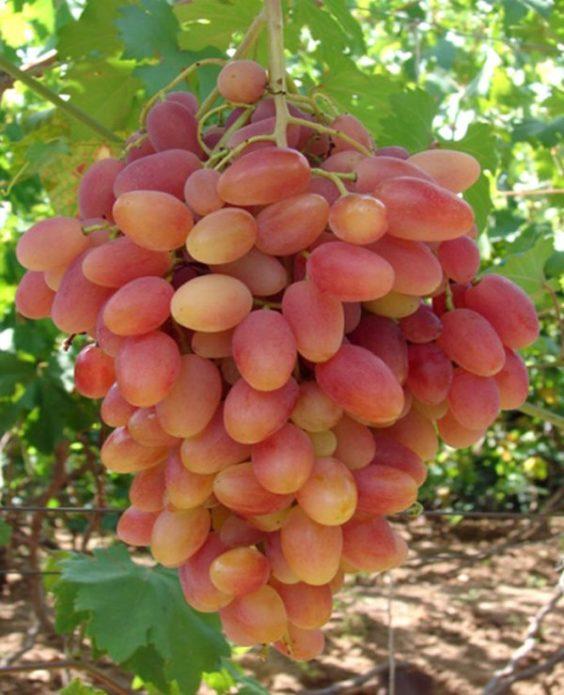Виноград сорта Преображение