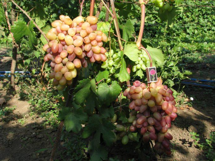 Куст винограда Виктор