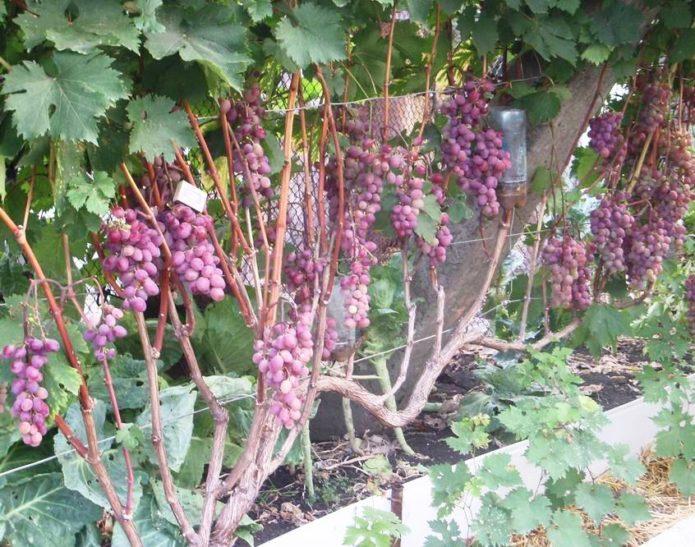 Куст винограда Виктория