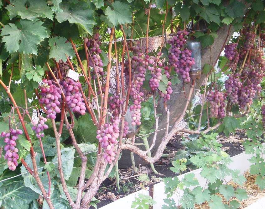 счастливый случай виноград виктория фото описание и характеристика как любят эти