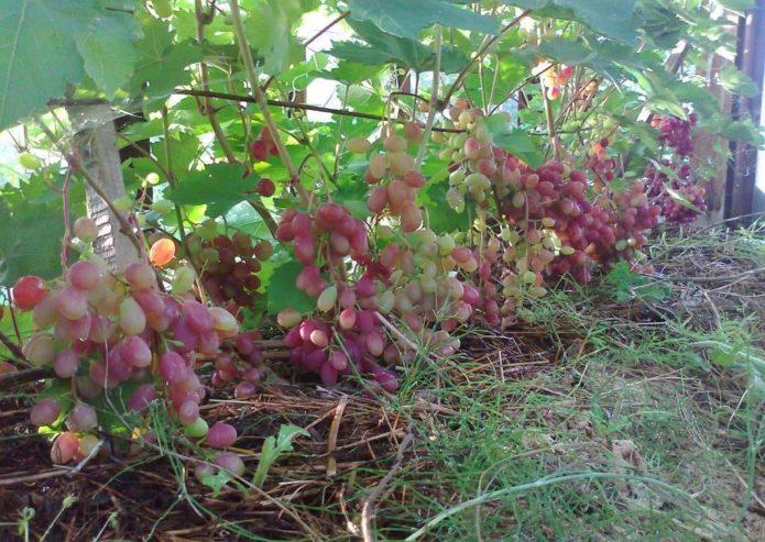 Виноград Виктория на шпалере