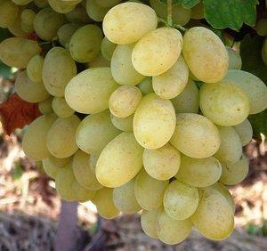 Виноград Виктория белая