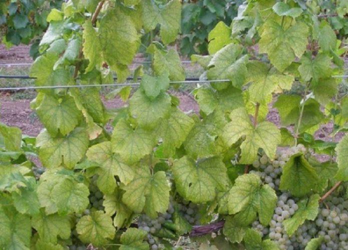 Чем обработать виноград от вредителей и болезней какими препаратами лучше опрыскивать