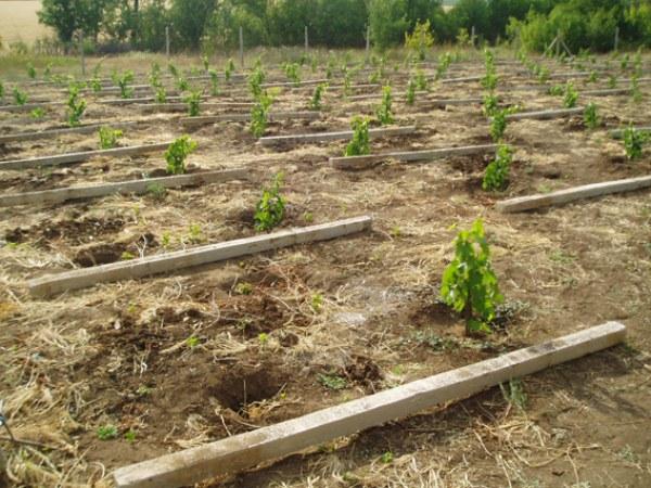 Схема высадки винограда