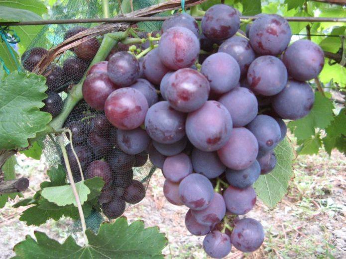 Кисть винограда сорта Рошфор