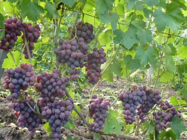 Урожай винограда Рошфор