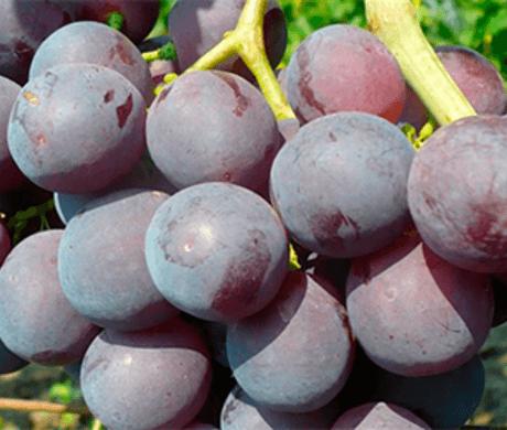 Ягоды винограда сорта Рошфор