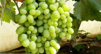 Виноград Кеша-1