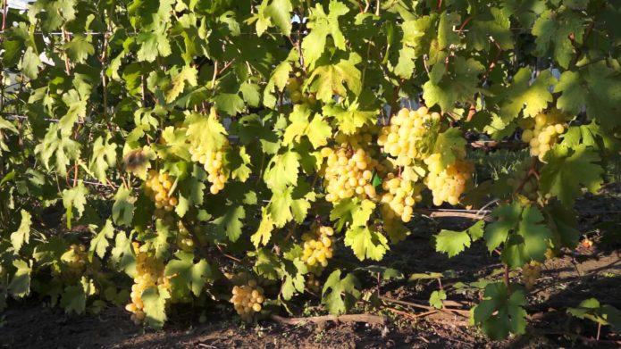Куст винограда Кеша