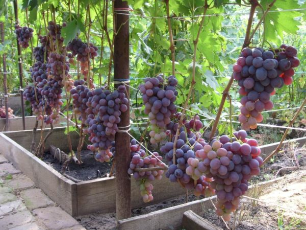 Виноград Низина на участке