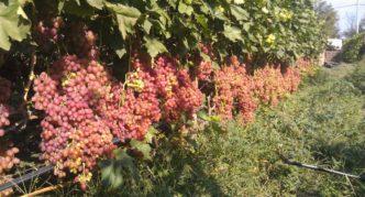 Тяжелые грозди