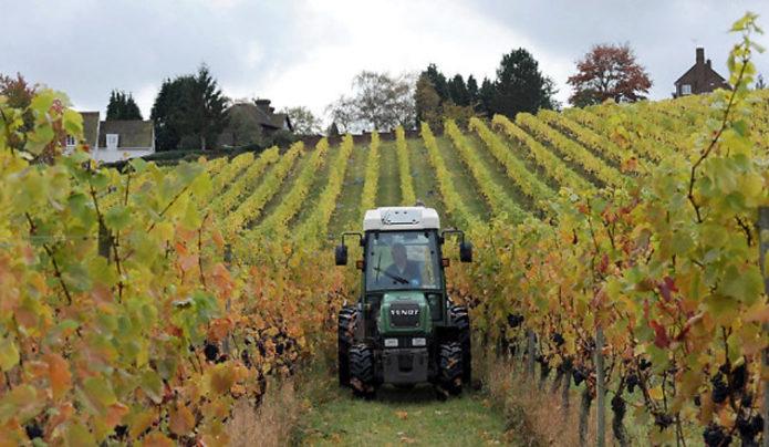 Виноградник в Великобритании