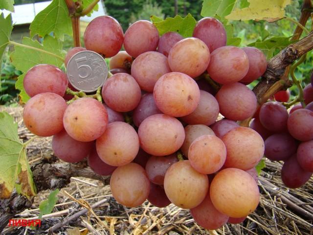 Гроздь винограда Ливия