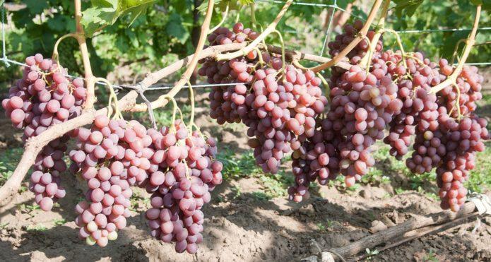 Куст винограда Ливия