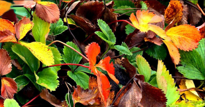 клубника осенью