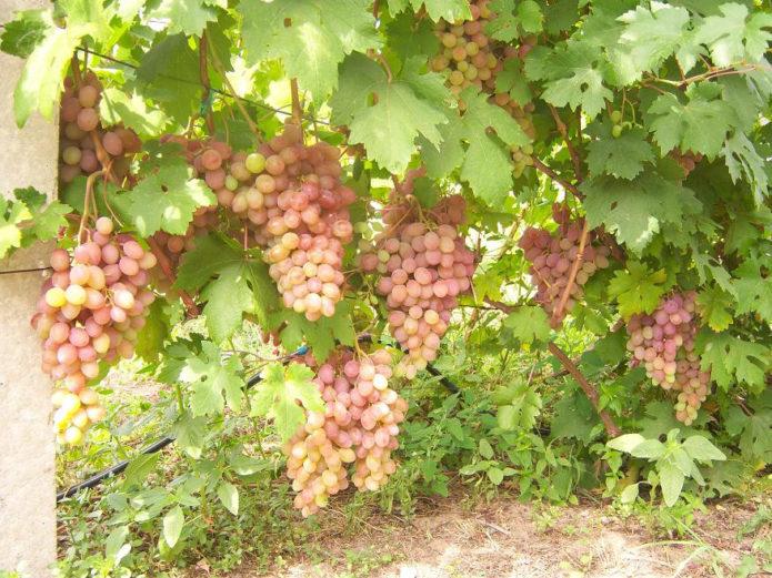 Куст винограда Румба