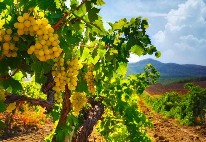Место под виноград