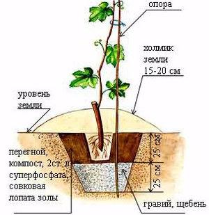 Схема подземных ярусов при посадке винограда